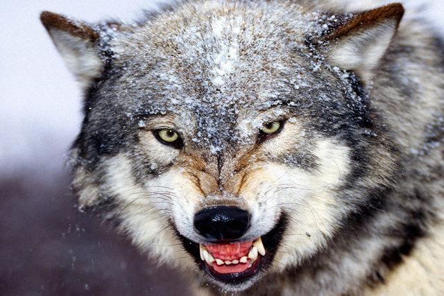 پنجه گرگ ها بر گلوی اهالی روستاهای تفت