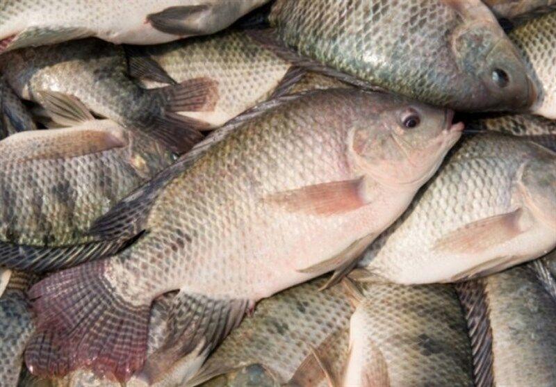 خبرنگاران جهش تولید و صرفه پرورش ماهی تیلاپیا در بافق