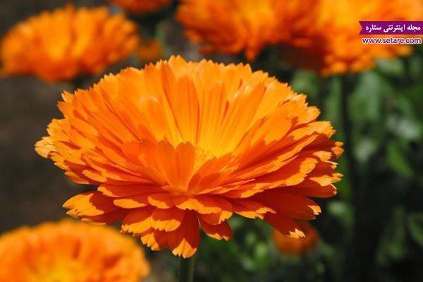 آشنایی با خواص گل همواره بهار