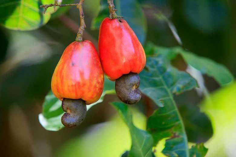 درمان آسم با درخت بادام هندی