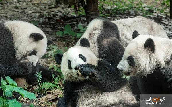 تماشای پانداهای غول پیکر در چین، عکس