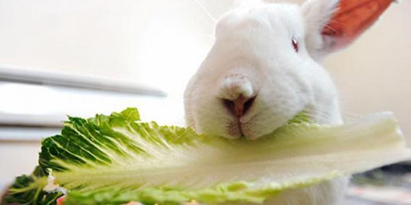 غذای خرگوش خانگی چیست